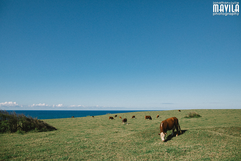 16-Road-To-Hana-Cows-Wildlife-Mavila-Photography.jpg